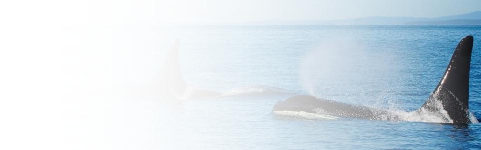 Orcas near Vancouver Island